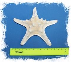 Филиппинская морская звезда 14 см