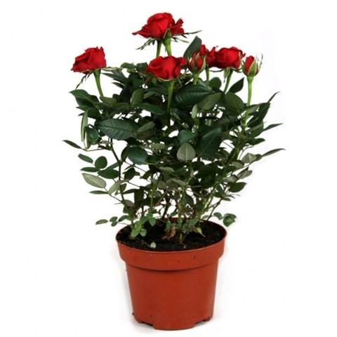 Роза патио Красная Аморе_room487