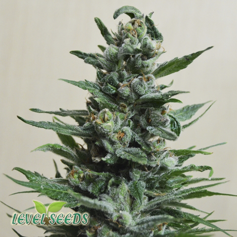 Moscow Blueberry Auto Feminised