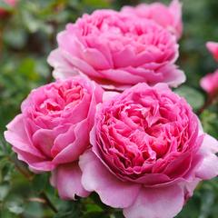 Роза парковая Принцесса Анна