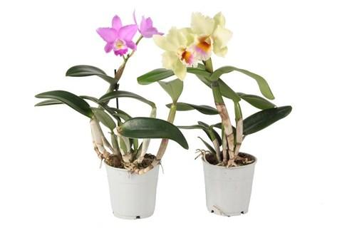 Каттлея (Орхидея)