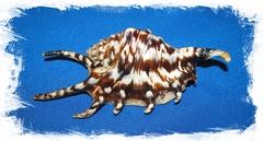 Тигровый Ламбис 8-11 см