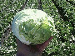Банделир семена салата айсберг, (Enza Zaden / Энза Заден)