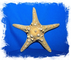 Звезда морская 15 - 17 см