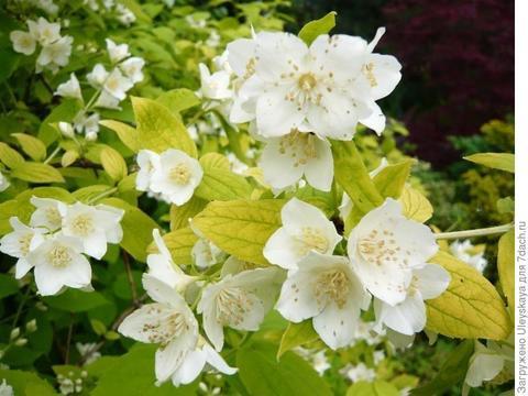 Жасмин садовый (Чубушник)_Philadelphus coronarius Aureus