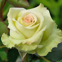 Роза чайно-гибридная Грин Фэшн
