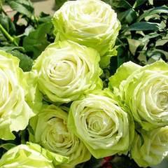 Роза чайно-гибридная Green Fashion
