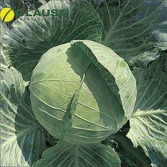 Бригадир F1 семена капусты белокочанной, (Clause / Клос)