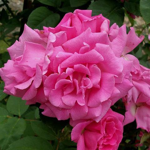 Роза плетистая Зефирин Дроухин (в тубе)