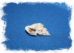Ракушка морская Cancellaria scalariformis, Trigonostoma scalariformis