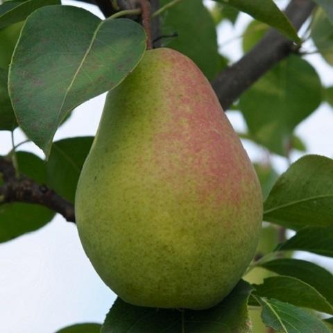 Груша плодовая сорт Чижовская