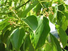 Равинтсара, Cinnamomum camphora СТ 1,8 цинеол, 10 мл