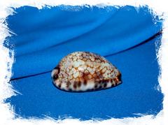 Коллекционная морская раковина Cypraea histrio