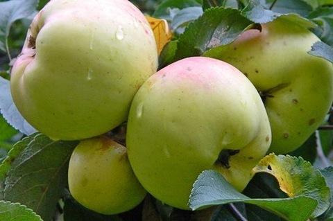Яблоня домашняя Богатырь (в тубе)