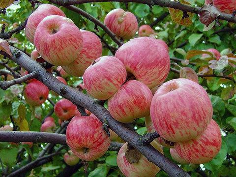 Яблоня домашняя Мелба (в тубе)