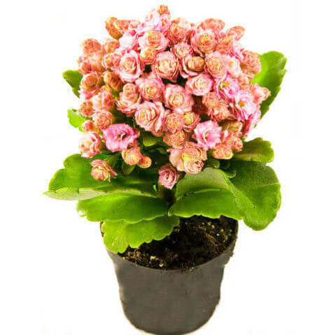 Каланхое Каландива Форева розовая