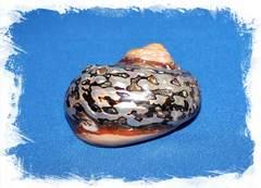 Раковина моллюска Турбо Сарматикус