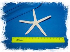Морская звезда Фингер 10 - 14 см.