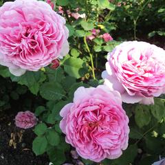 Роза плетистая Бьенвеню