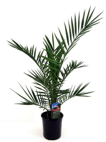Финик канарский (Пальма)