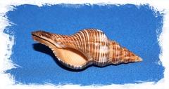 Плеуроплока Филаментоза