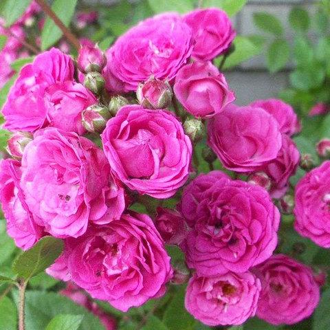 Роза мускусный гибрид Динки