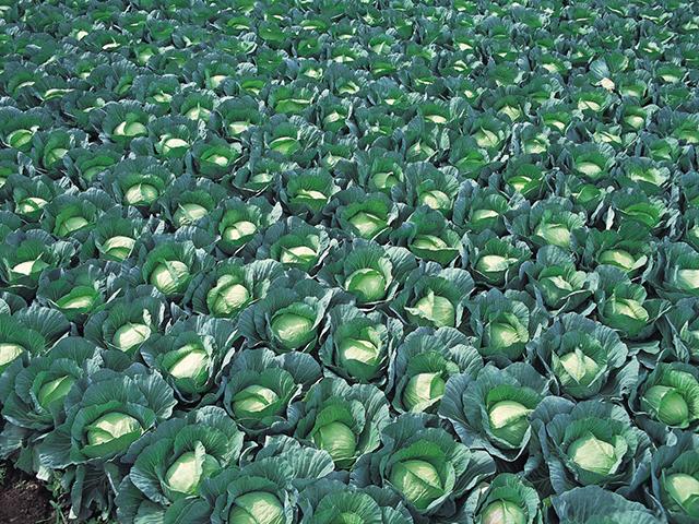 Белокочанная Грин рич F1 семена капусты белокочанной, (Takii / Таки) greenrich.jpeg