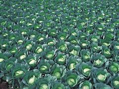 Грин рич F1 семена капусты белокочанной, (Takii / Таки)