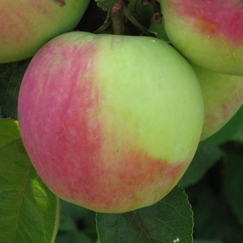 Яблоня позднезимний сорт Северный Синап