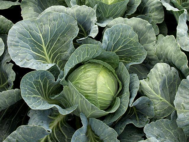 Белокочанная Вердеко F1 семена капусты белокочанной, (Takii / Таки) Вердеко_F1.jpeg