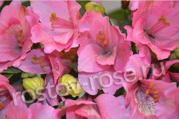 Розовые альстромерии