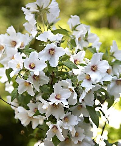 Жасмин садовый (Чубушник)_Philadelphus coronarius Belle Etoile