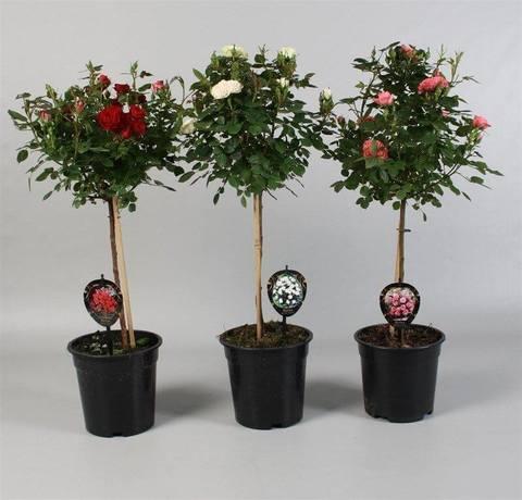 Живые розы в горшке купить доставка цветов в архипо-осиповке