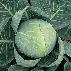 Коля F1 семена капусты белокочанной, (Seminis / Семинис)