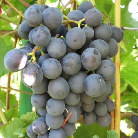 виноград неретинский