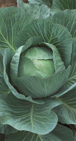 Семена Капуста белокочанная Тобия F1, 10 сем