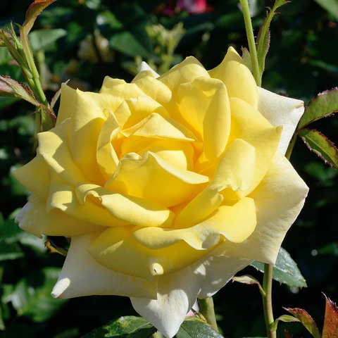 Роза чайно-гибридная Беролина (в тубе)