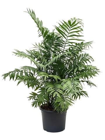 Хамедорея изящная (Пальма)