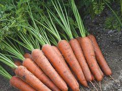 Аурантина F1 семена моркови, (Takii / Таки)