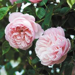Купить Роза английская The Generous Gardener
