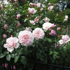 Роза английская Зе Дженероуз Гарденер