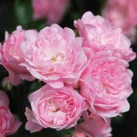 Роза миниатюрная Зе Фейри