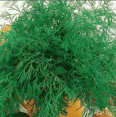 Кутузовский семена укропа, (Гавриш)