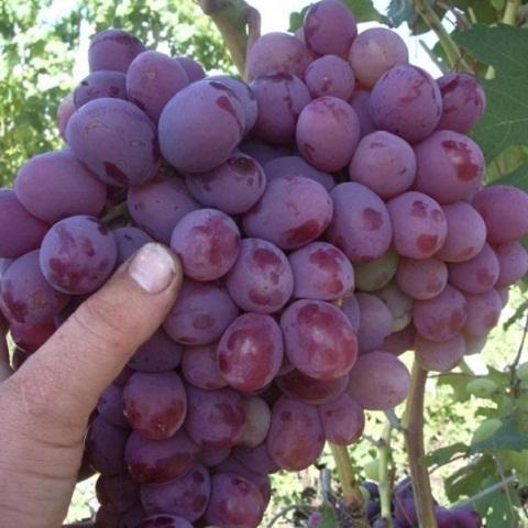 Виноград столовый сорт Кишмиш Юпитер