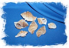 Морские ракушки для поделок и рукоделия