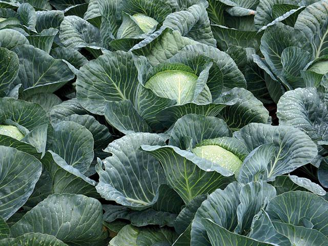 Белокочанная Структа F1 семена капусты белокочанной, (Takii / Таки) Структа_F1.jpeg