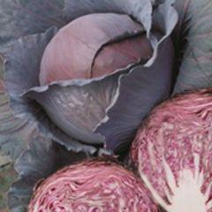 Регилиус F1 семена капусты краснокочанной, (Syng.)