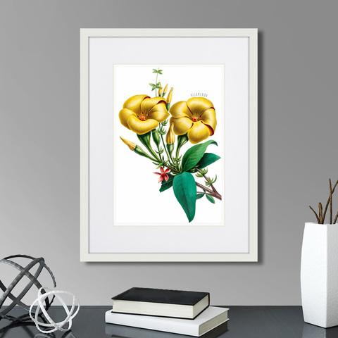 Марк Кейтсби - Caribian Flora Yellow Allamanda, 1740г.