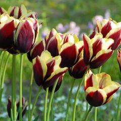 Тюльпан Триумф Гавота