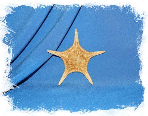 Морская звезда Иконастер лонгиманус (Iconaster longimanus) 9,5 см.
